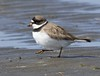 Semipalmated Plover: Bottle Beach State Park, WA (5-2-15)