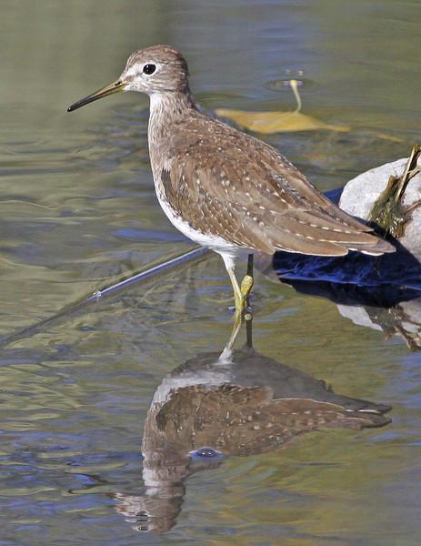Solitary Sandpiper: Sweetwater Wetlands near Tucson, AZ (February, 2013)