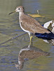 Solitary Sandpiper: Sweetwater Wetlands near Tucson, AZ (February, 2013)