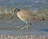 Willet. Taken at Salton Sea NWR, CA