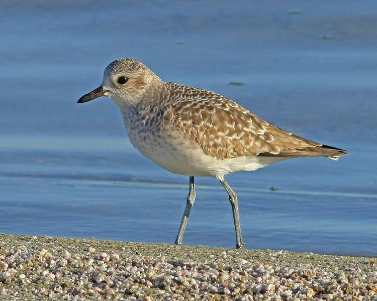 Black-bellied Plover.  Taken at Salton Sea NWR, CA