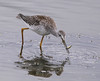 Greater Yellowlegs: Ridgefield NWR (8-30-14)