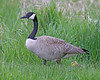 Mother Canada Goose and little one