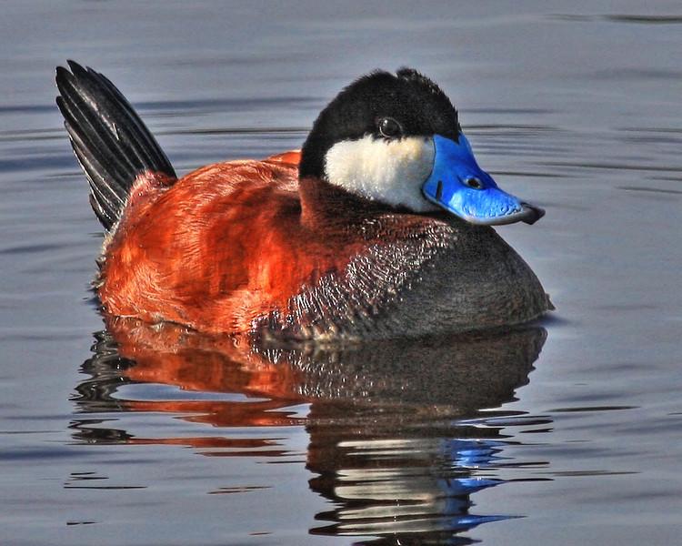 Ruddy Duck: Ridgefield NWR, Washington (April, 2010)
