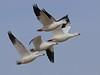 Snow Geese: Salton Sea NWR, CA (12-27-14)