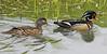 Wood Ducks (Male/Female)