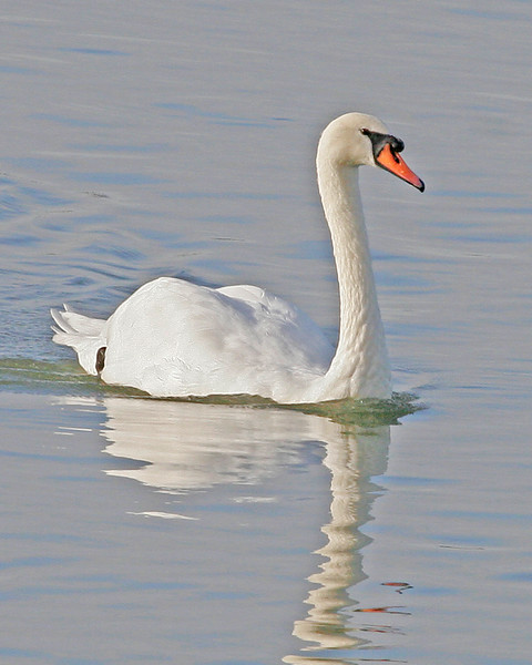 Mute Swan.  Picture taken in Ladner, B.C. Canada