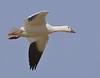 Snow Goose: Salton Sea NWR, CA (12-27-14)