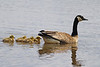 Canada Goose with Goslings: Ridgefield NWR, WA (May, 2012)