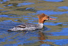 Common Merganser (female): Warm Springs, OR  (May, 2010)