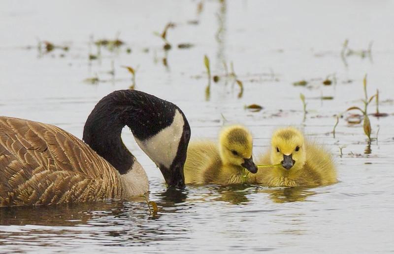 Canada Goose and Goslings: Ridgefield NWR (5-19-15)