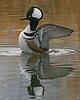 Hooded Merganser:  Ridgefield NWR, WA