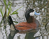 Ruddy Duck.  Ridgefield NWR, WA
