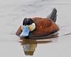 Ruddy Duck: Ridgefield NWR, WA (May, 2012)