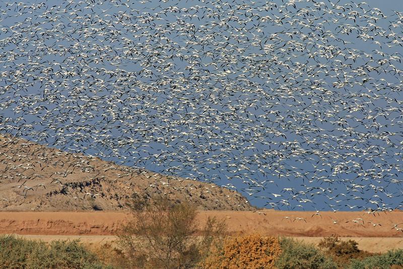 Snow Geese at Salton Sea NWR, CA