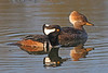 Hooded Merganser(Male & Female):  Ridgefield NWR, WA (May, 2008)