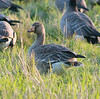 Greater White-fronted Goose.  Ridgefield NWR, WA