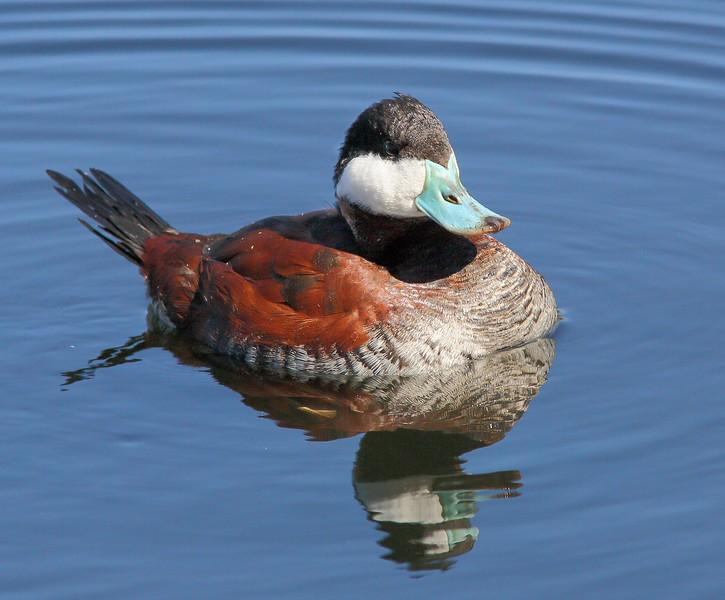 Ruddy Duck: Sweetwater Wetlands near Tucson, AZ (2-25-15)