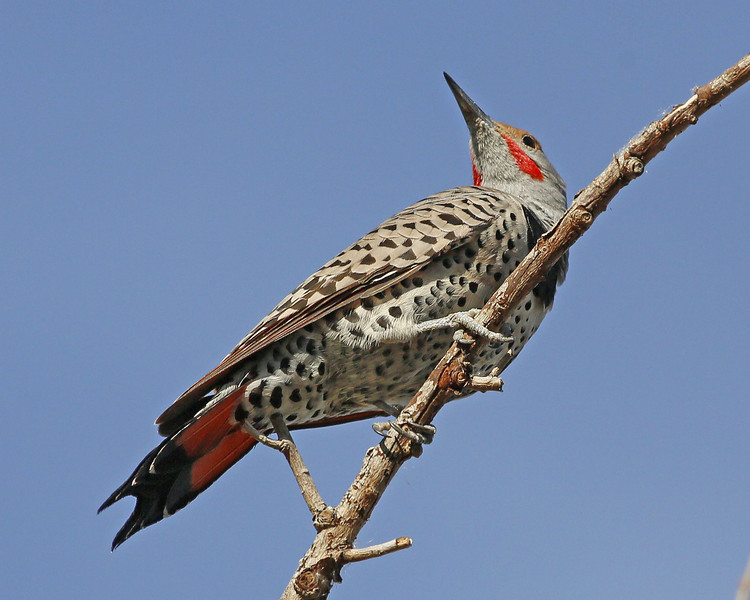 Northern Red-shafted Flicker: