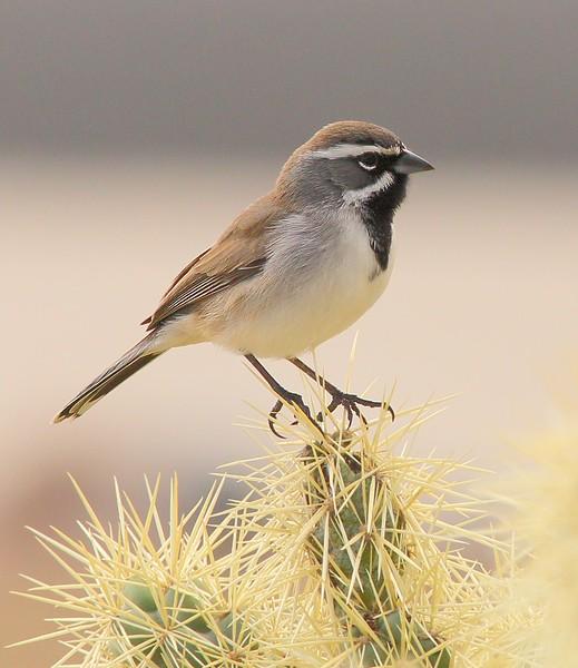 Black-throated Sparrow: