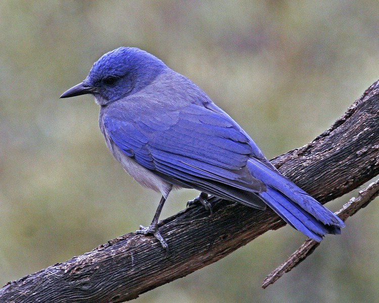 Mexican Jay: Madera Canyon, AZ (January, 2010)