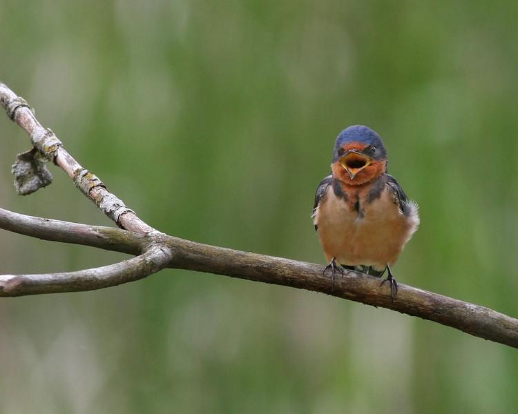 Barn Swallow (immature)