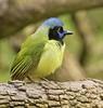 Green Jay: