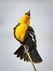 Yekkow-headed Blackbird