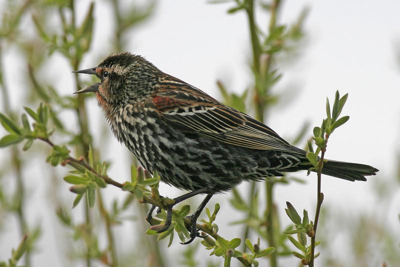 Red-winged Blackbird (immature)