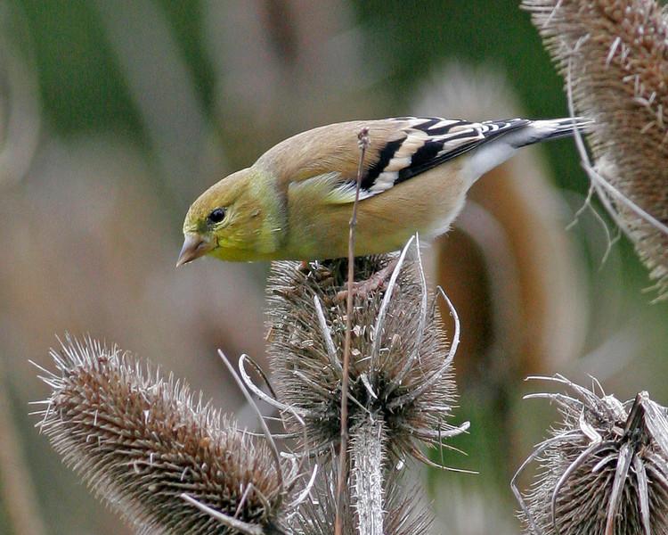American Goldfinch (non-breeding)