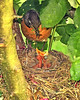 American Robin and babies