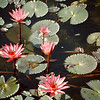 a natural lotus pond