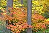 Autumn Colors along the White Salmon River, WA (10-08)