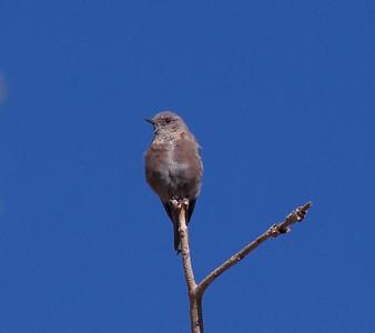 Mountain Bluebird Chidago Canyon 2015 07 28-1.CR2