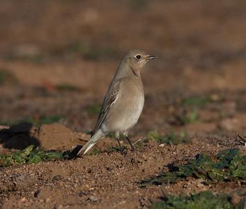 Mountain Bluebird Ramona  2015 11 28-3.CR2