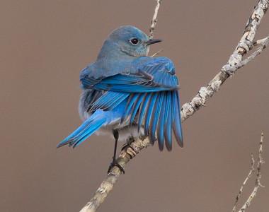 Mountain Bluebird 2014 12 16-4.CR2