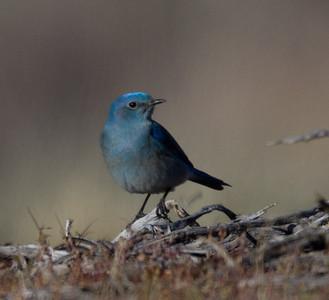 Mountain Bluebird Mammoth Lakes 2014 03 17-1.CR2