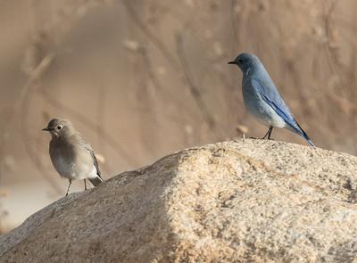Mountain Bluebird Bishop 2019 12 14-1.CR2