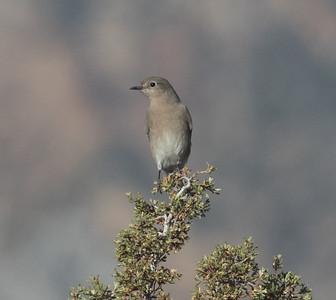 Mountain Bluebird   Lee Vining 2020 10 18-2.CR2