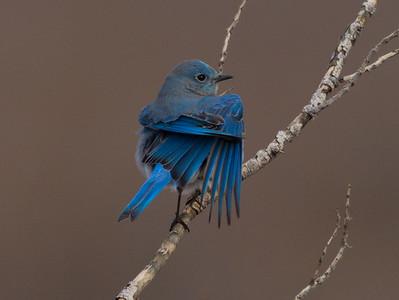 Mountain Bluebird 2014 12 16-3.CR2