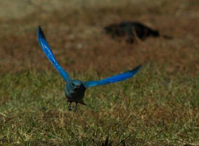 Mountain Bluebird  Mammoth Lakes  2013 10 21-1.CR2