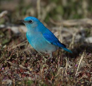Mountain Bluebird  Mammoth Lakes 2014 03 21-5.CR2