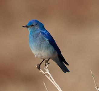 Mountain Bluebird Crowley Lake 2014 04 23-2.CR2