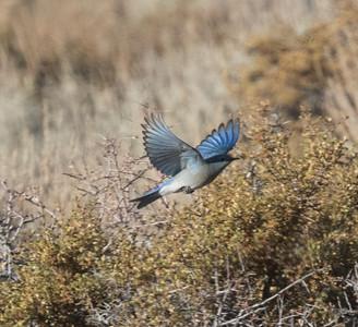 Mountain Bluebird   Lee Vining 2020 10 18.CR2