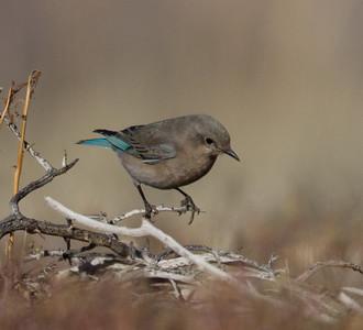 Mountain Bluebird Mammoth Lakes 2014 03 17-2.CR2
