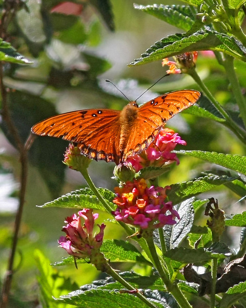 Butterfly and flowers in Kauai