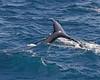 Humpback Whale seen off Kilaeua Point