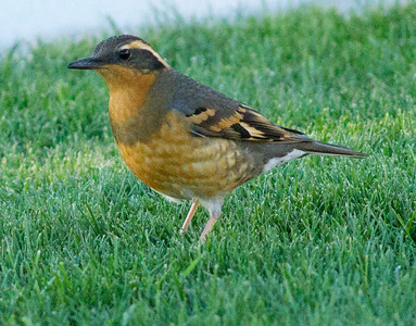 Varied Thrush  Coso Junction 2012 10 28 (3 of 7).CR2