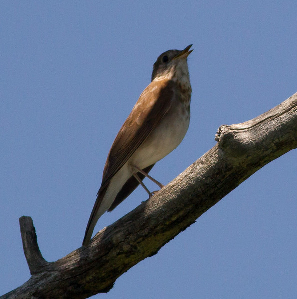 Veery  Red Lodge Montana 2015 -06-11-2.CR2