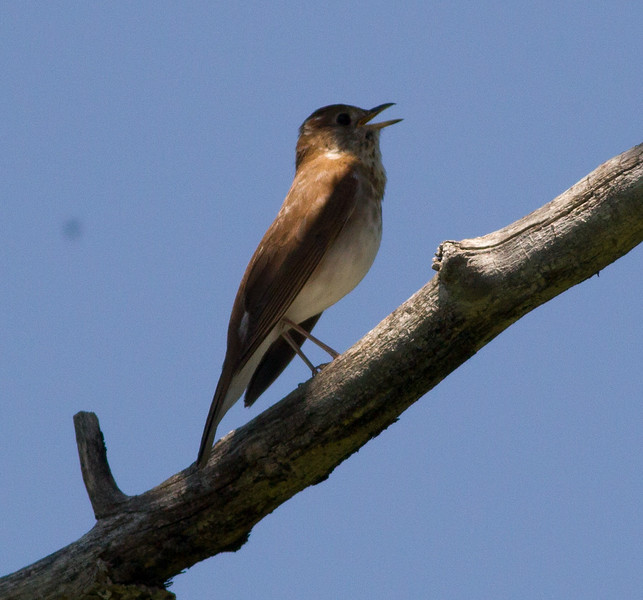 Veery  Red Lodge Montana 2015 -06-11-4.CR2